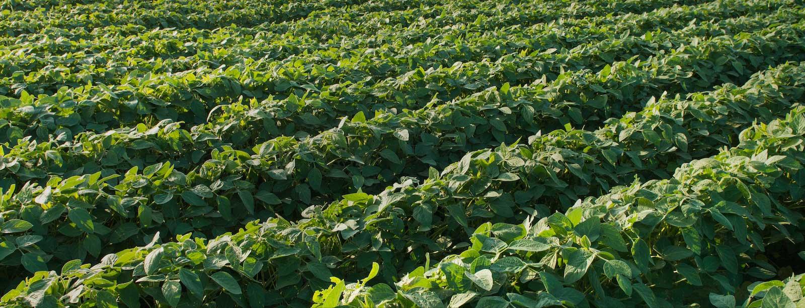 soybean-slider